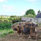 A pig in the vegetable garden - a good example of intergration between enterprises