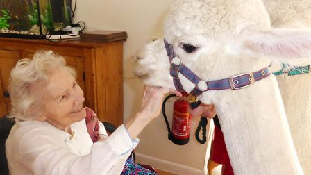 Care home residents love having visits from alpacas!