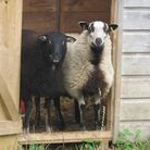 Cheeky Badgerface lambs in the goose hut
