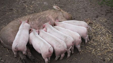 Make sure sows regain condition before being mated again (photo: Liz Shankland)