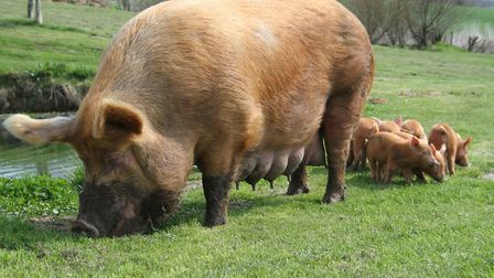 A healthy sow with her piglets enjoying time in the sun (photo: Liz Shankland/Bob Stevenson)