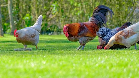 Chickens, as well as turkeys, gamebirds and other poultry can be affected by Newcastle Disease