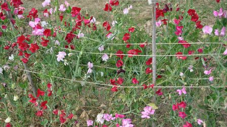 Sweet peas have been a staple of many of Harriet's flower bunches this year (photo: Julie Harding)
