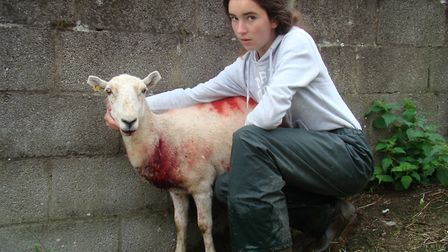 This is the result of an attack by someone's pet dog. Avoid grazing pregnant animals close to public