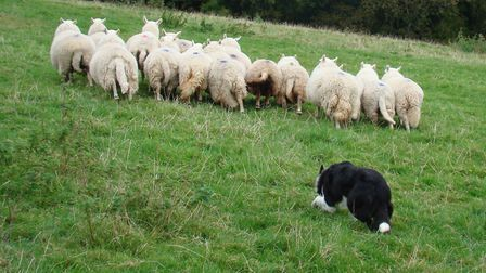 Try to avoid using a dog to gather ewes during early gestation (photo: Tim Tyne)