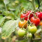 Homegrown tomatoes. Photo credit: Getty Images/iStockphoto