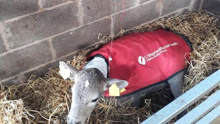 A vet will often diagnose coccidiosis based on history (age of the calf being particularly important