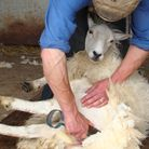 Hand shearing - clipping the left hind leg and tail (photo: Tim Tyne)
