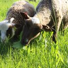By following holistic grazing practices and grazing pastures tall rather than short, many larvae are