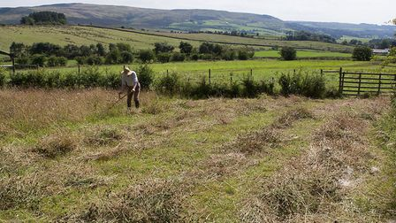 David Higham scythe cutting his wildflower meadow. The hay from such meadows is rich in protein, min