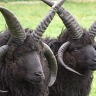 Beyond basic husbandry requirements, Hebrideans are resilient and self-sufficient sheep (photo: Darr