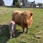 Katrine Lisa, one of Donald and Lindas Highlands, with her bull calf Romeo