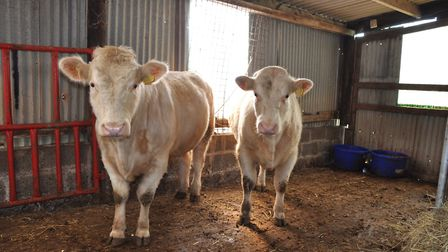 Donald Hendry is the only Whitebred Shorthorn breeder for several years to register calves from old