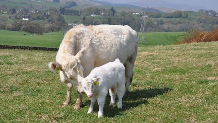 Donalds Whitebred Shorthorns are snapped up when they come on the market