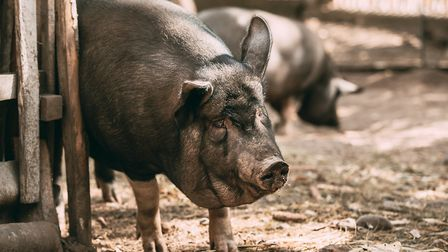 Sarcoptic mange usually starts behind the ears, but then spreads across the body (photo: Ryhor Bruye