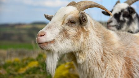 Goats will not thrive unless 50% of their diet is fibre