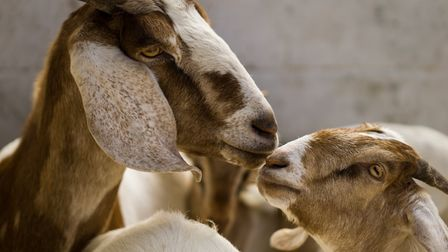 Goats are perfect for smallholders