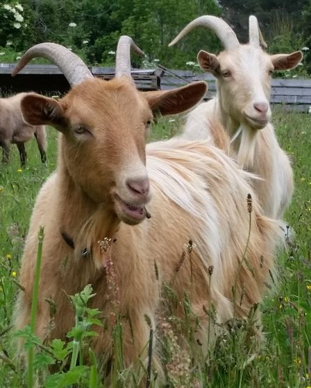 Goats are browsers and love nibbling plants, shrubs, trees and brambles