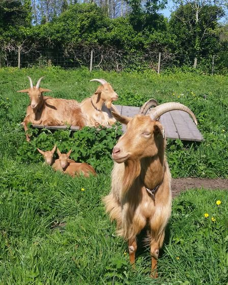 Good fencing is essential to contain any goat herd