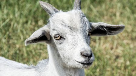 It is important not to lose sight of the fact that you need to be able to handle the goats you buy w