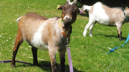 Getting into goatkeeping? Then visit the British Goat Society (BGS) website which has plenty of help
