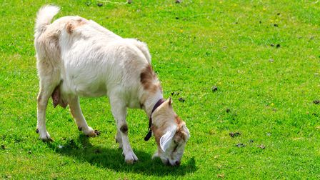 Goats are susceptible to the same plethora of infectious lameness diseases as sheep (photo: Sue de C