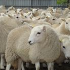 Selecting ewe lambs to keep is one of the most pleasurable tasks a smallholder can undertake (photo: