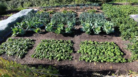 Homeacres trial beds in September 2018 that include spinach planted four weeks earlier (photo: Charl