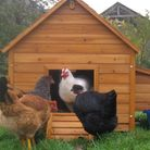 What should you be thinking about when erecting your chicken coop