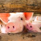 The British Veterinary Association (BVA) has welcomed the Review of the Welfare of Animals at the Ti