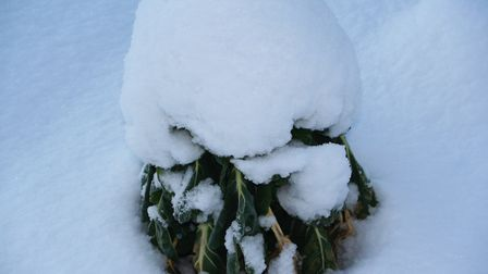 This Brussels sprout plant undersnow is still harvestable! Credit: Charles Dowding