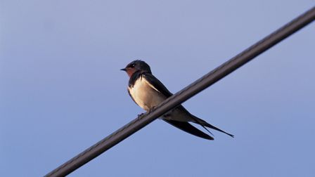 Birds: Swallow perched on overhead cable with blue sky in the background, hertfordshire. Credit: Ch
