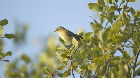 Chiffchaff Phylloscopus collybita, perched in the leaves of a tree, Co. Durham, October Credit: Joh