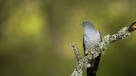 Common cuckoo Cuculus canorus, adult male perched on lichen covered branch, Thursley National Nature
