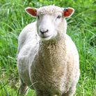 In governmental and farming parlance, identifying your livestock doesn't mean being able to tell whi
