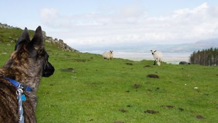 Sheep worrying incidents have increased since the panedemic as greater numbers of walkers take to th