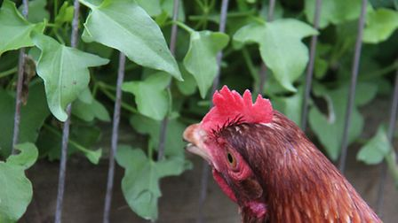 A hen helping herself to some sorrel