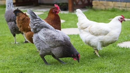 Chickens free ranging in the garden