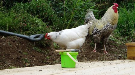 Even a small change in their environment can make chickens very uneasy