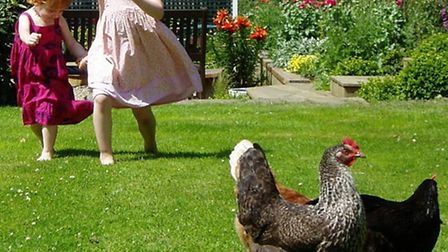 Chickens are nervous of strangers, particularly young children