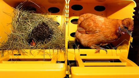 No more searching for your hens eggs