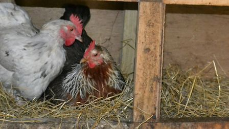 Two hens crowding into one nest box