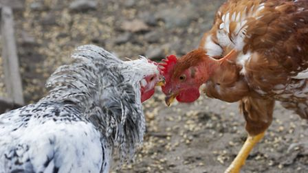 Two chickens square up