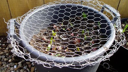 A covering of mesh will protect young plants from chickens