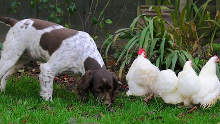 Are my chickens at risk from my dog?