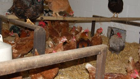 Roosting perches in a larger coop