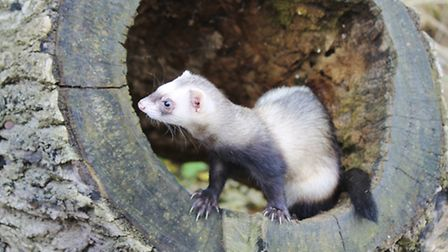A ferret - a serious risk to your chickens