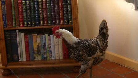 Hens like coming indoors - but they aren't easy to house-train