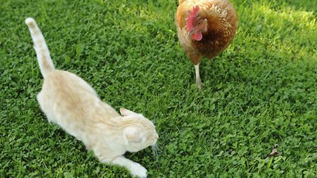 A chicken taking no prisoners as it moves in on a cat!