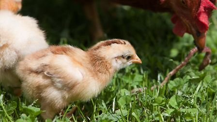 A broody hen is invaluable and will find 'live' food for her brood.
